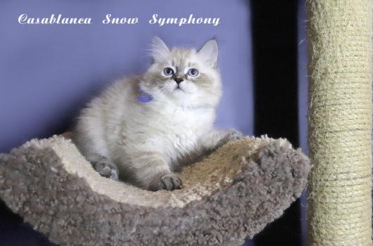Casablanca Snow Symphony