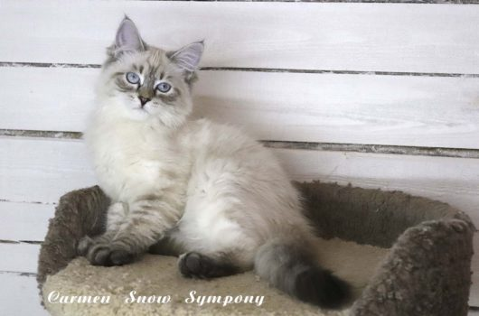Carmen Snow Sympony