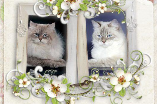 27 декабря у нас родились  5 очаровательных котят (E-Snow Symphony)