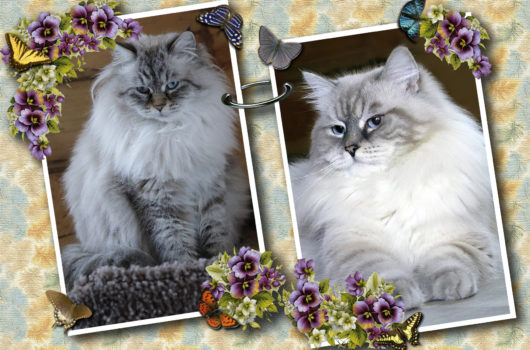 Litter F was born on July 24! We have a one lovely girl- mom Eur. Ch. Federika Barselit, dad Ch. Tsvetoslav Lazoreviy Jahont